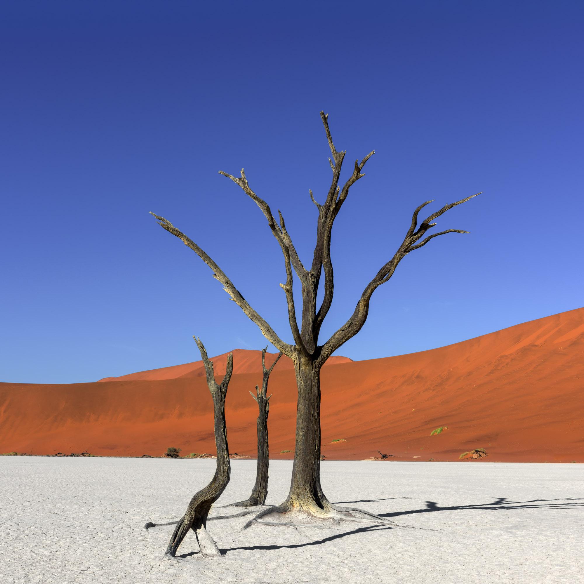 Dead Camelthorn Trees in Deadvlei, Namibia