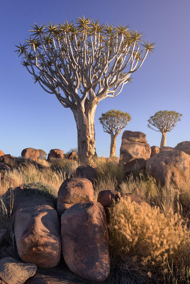 Aloe Tree Forest, Keetmanshoop, Namibia