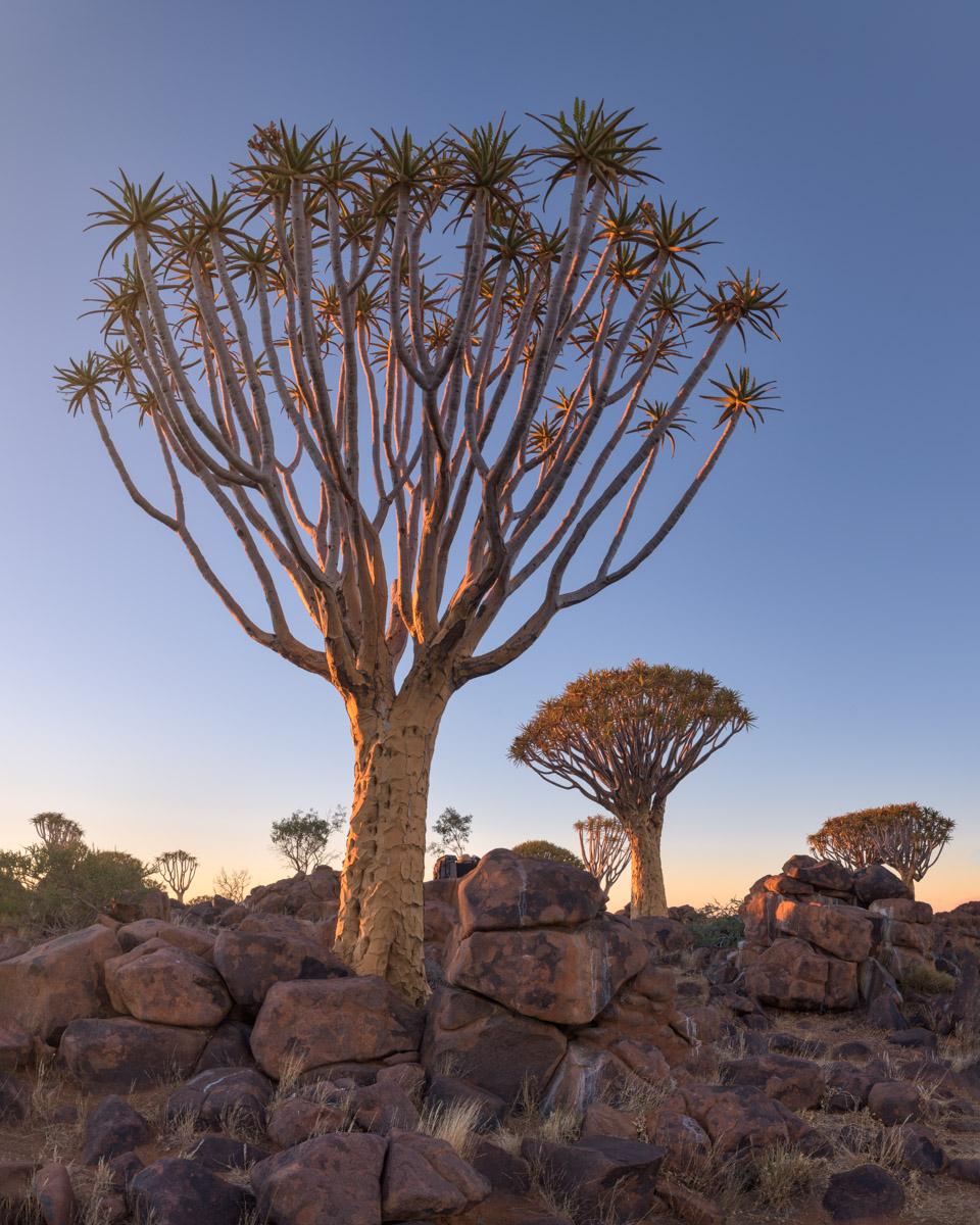 Aloe Trees, Keetmanshoop, Namibia