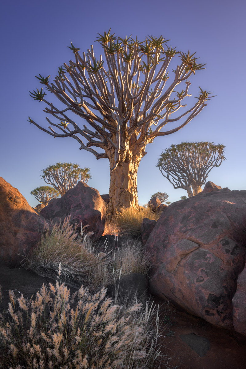 Quiver Tree Forest at Sunrise, Keetmanshoop, Namibia