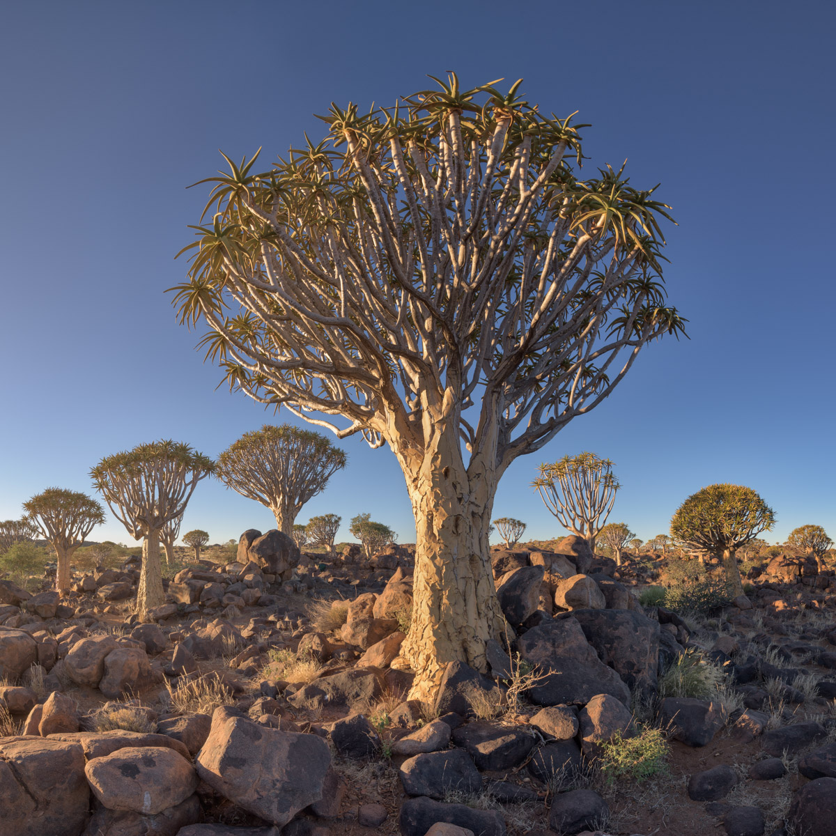 Quiver Tree Forest at Sunset, Keetmanshoop, Namibia