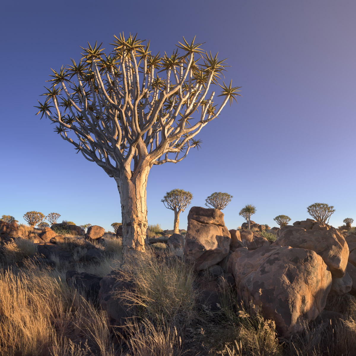 Quiver Tree Forest in the Evening, Keetmanshoop, Namibia