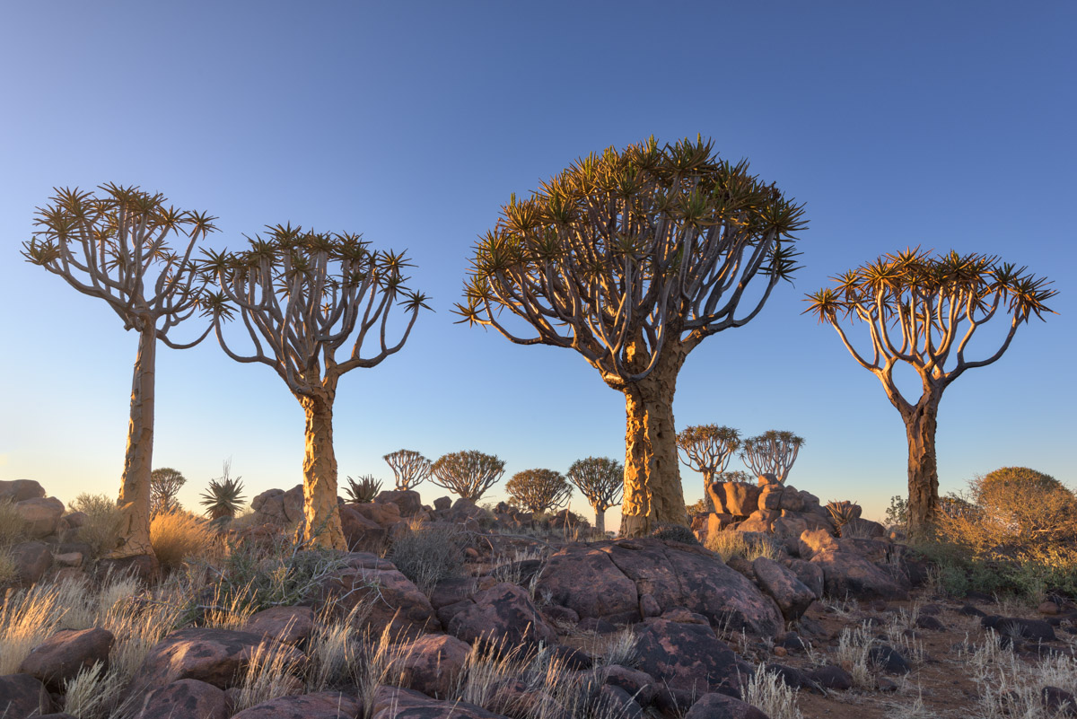 Quiver Tree Forest in the Morning, Keetmanshoop, Namibia