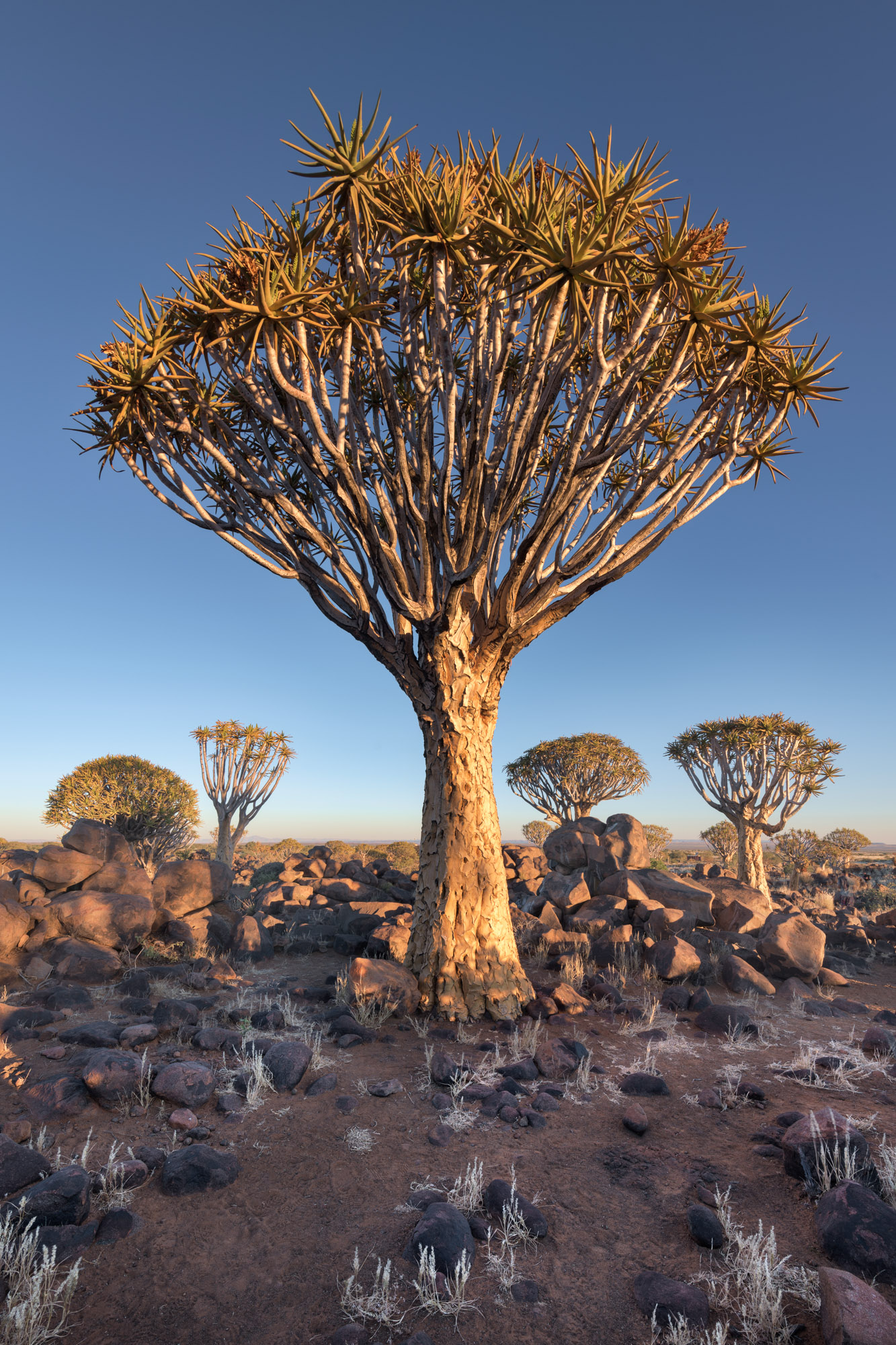 Quiver Trees in the Evening, Keetmanshoop, Namibia